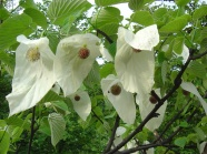Davidia involucrata flowers pictures