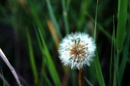 Fresh dandelion HD pictures