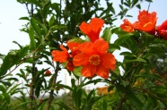 HD pomegranate flowers pictures