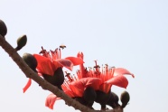 HD red kapok pictures