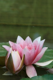 HD water Lotus beauty in pictures