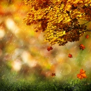 Maple Leaf pictures download