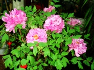 Peony flower bonsai pictures