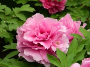 Peony flower rich picture download