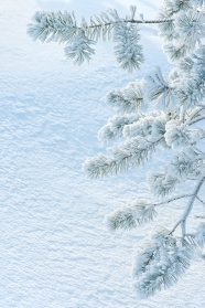 Pine snow HD pictures