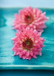 Pink Chrysanthemum image download