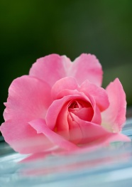 Pink flower picture material download