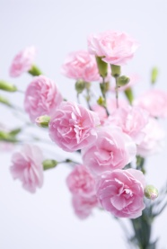 Pink fresh flowers HD pictures