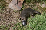 Platypus picture download