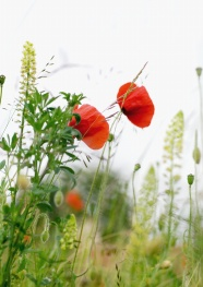 Poppy flower pictures