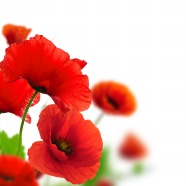 Poppy flowers HD picture download