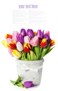 Potted tulips HD pictures