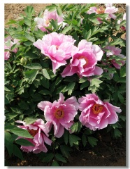 Pretty Peony flower picture