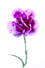 Purple carnations HD pictures