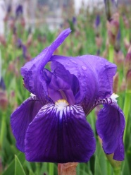 Purple IRIS pictures