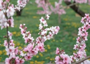 Romantic cherry blossom pictures