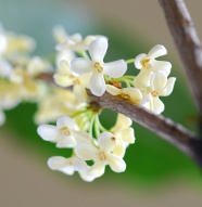 Sweet-scented osmanthus picture download
