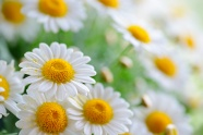 White chrysanthemums pictures
