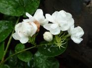White Jasmine HD pictures