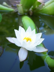 White Lotus HD pictures