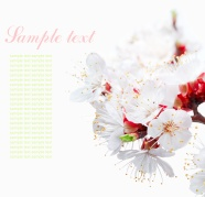 White plum HD pictures