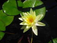 Yellow water lily picture material