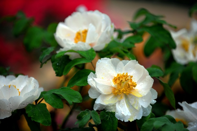 White Peony pictures