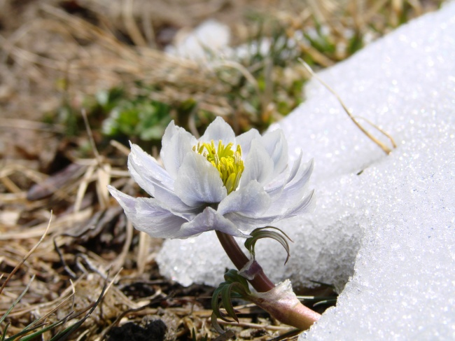 White snow Lotus picture download