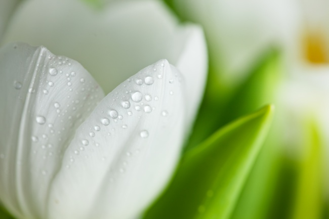 White Tulip picture download