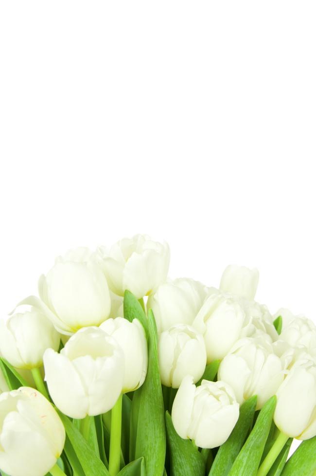 White Tulip picture material
