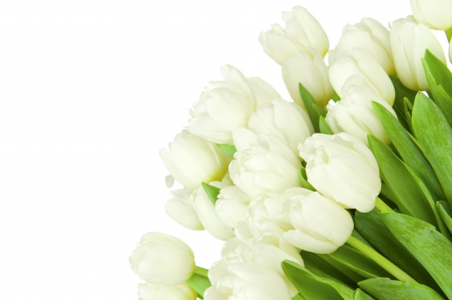 White tulips HD pictures