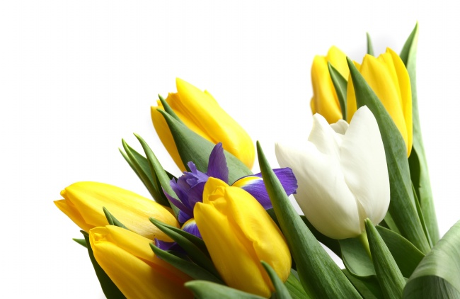Yellow Tulip picture download